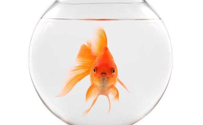 """Hóa ra """"não cá vàng"""" chỉ là câu nói cho vui: loài cá này có trí nhớ lên tới vài tháng!"""