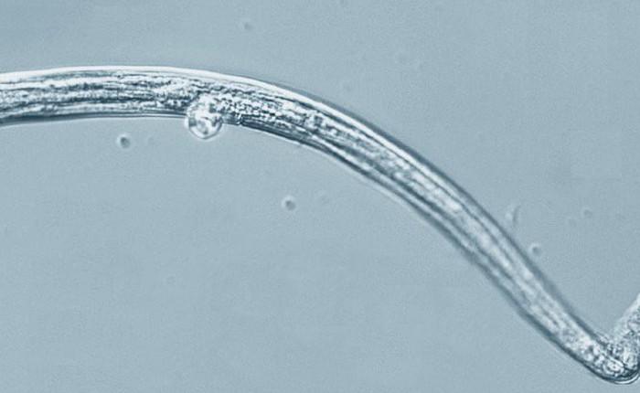 Sinh vật 42.000 năm tuổi hồi sinh sau khi được rã đông khỏi băng vĩnh cửu