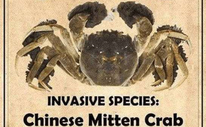 Dân mạng Trung Quốc tình nguyện ăn bớt cua xâm lấn để cứu hệ sinh thái Mỹ