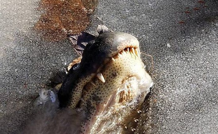Loài cá sấu tồn tại trên Trái Đất cả triệu năm rồi, phương pháp cho phép chúng sống dai như vậy là đây