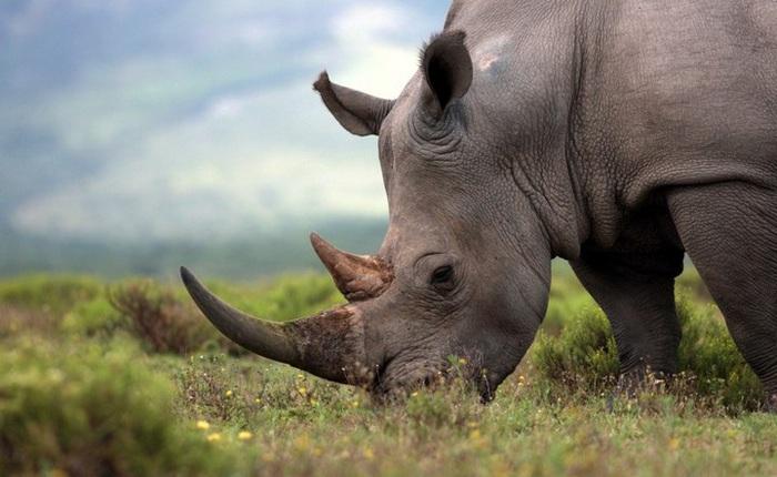 Các nhà khoa học đã tạo ra thành công sừng tê giác giả, hứa hẹn sẽ làm giảm tệ nạn buôn lậu sừng tê giác
