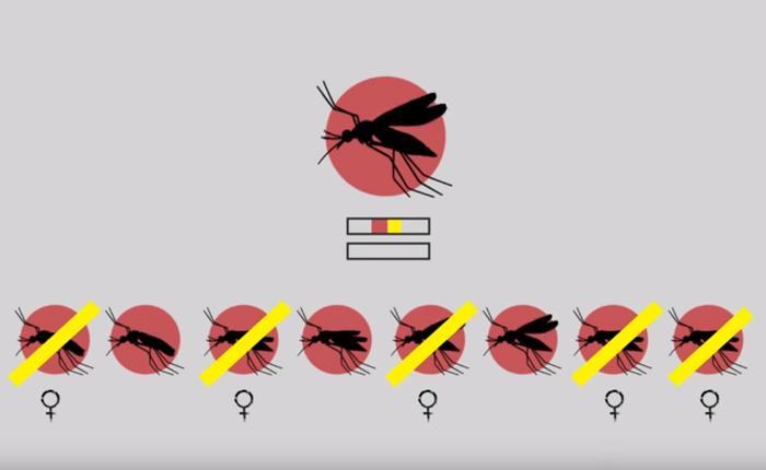 Thả muỗi biến đổi gen vào tự nhiên: Một giải pháp mạo hiểm để kiềm chế dịch bệnh
