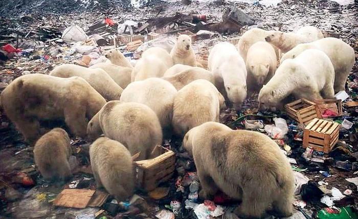 """Bị xâm lăng bởi """"binh đoàn"""" 52 con gấu trắng, quần đảo Nga phải ban bố tình trạng khẩn cấp"""