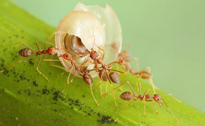 Những con kiến đi giật lùi về tổ, chúng đã làm điều đó bằng cách nào?