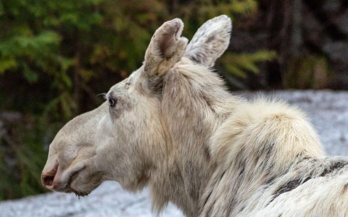 Cái chết của nai sừng tấm trắng ở Canada khiến cho cư dân bản địa cảm thấy phẫn nộ, buồn bã và tìm kiếm những kẻ đã ra tay