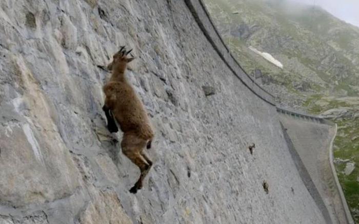 Alpine Ibex: Bất chấp các vấn đề về trọng lực, loài động vật này vẫn có thể leo lên các bức tường thẳng đứng