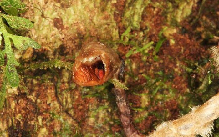 Phát hiện loài lan xấu nhất thế giới trong rừng Madagascar