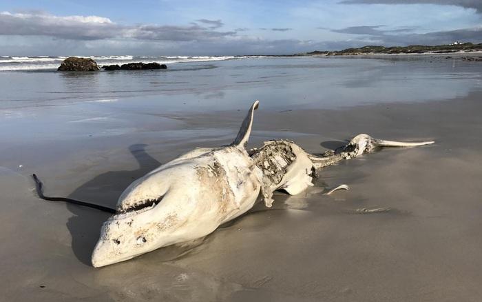 Đây là loài sinh vật biển chỉ cần bơi ngang cũng khiến cá mập trắng lớn sợ hãi tột cùng mà