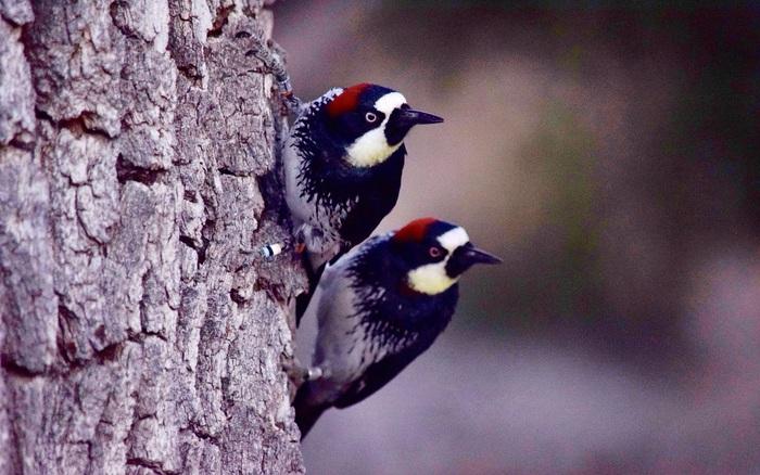 Loài chim này lập liên minh để đánh nhau giành lãnh thổ, và hàng xóm bay đến từ khắp nơi để xem trộm