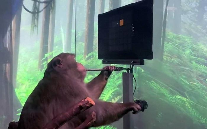 Được startup của Elon Musk cấy chip vào não, con khỉ này có thể chơi game hoàn toàn bằng ý nghĩ