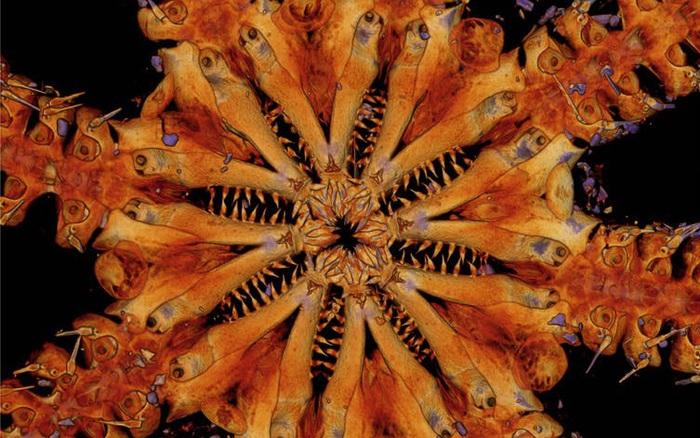 Kinh hoàng với loài sao biển 8 chân đầy gai dài như rắn, 8 bộ hàm tua tủa răng nhọn