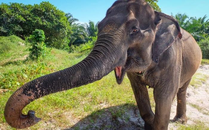 Các nhà khoa học lại khám phá ra một khả năng mới của vòi voi